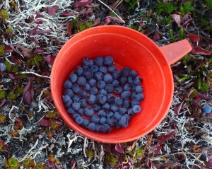 Picking blueberries for breakfast