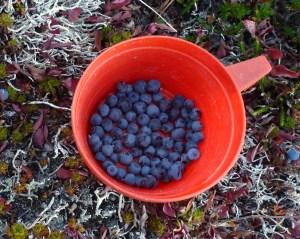 Picking blueberries for breakfast