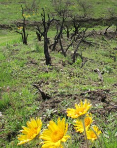 Arrow Leaf Balsam Root blooms by wildfire ravaged sage brush