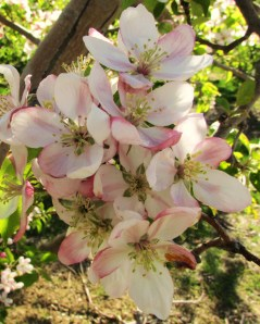 Orchard blooms near Lake Hammond
