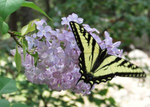 Swallow tail butterfly on lilacs