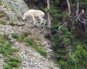 A Goat . . . in Goat Rocks Wilderness