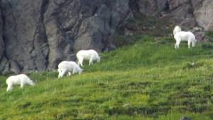 Goats grazing above Goat Lake