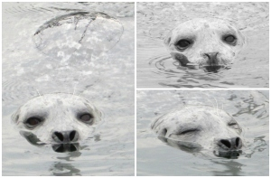 Harbor seal swimming